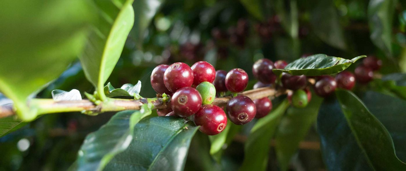 ripe costa rica coffee cherries